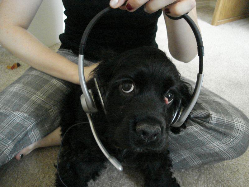 ヘッドセットを装着した犬