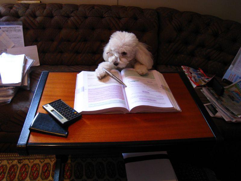 机で勉強するプードル
